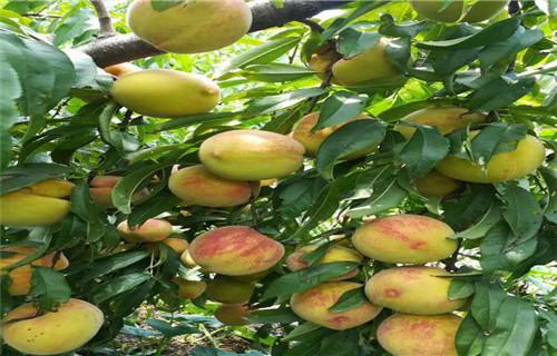 山东中油19号桃树苗品种大全