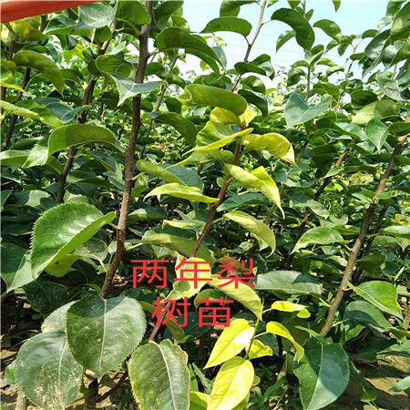 百色水晶梨树苗种植基地