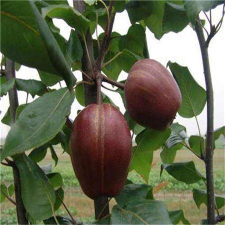 襄樊早酥红梨树苗销售
