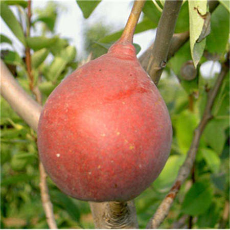 福州红香酥梨树苗价格