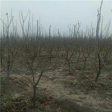 安康黄蜜樱桃树苗农业