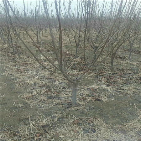 惠州先峰樱桃树苗多少钱
