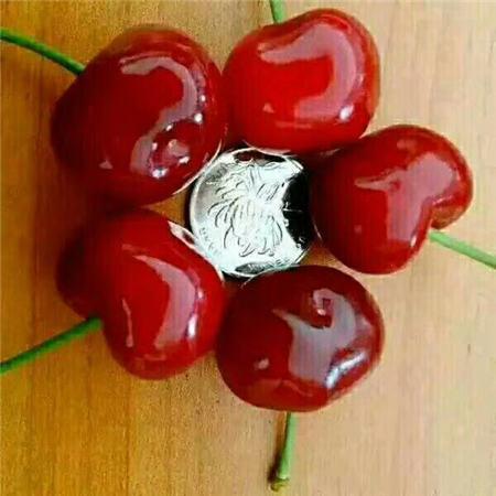 怀化黑珍珠樱桃树苗