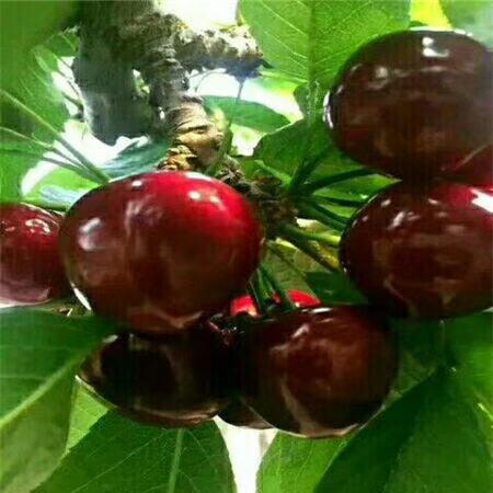 德州吉塞拉樱桃树苗