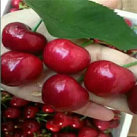 眉山佳红樱桃树苗大量