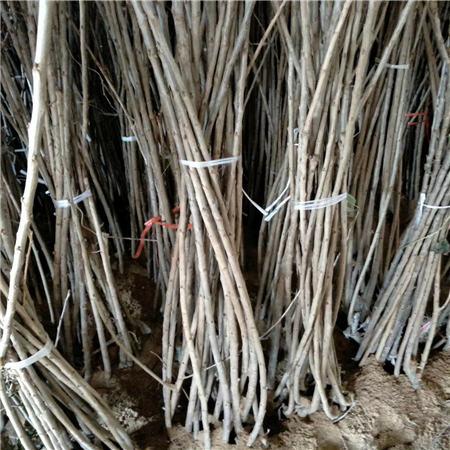 惠州拉宾斯樱桃树苗品种大全