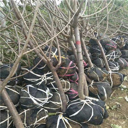 常州吉塞拉樱桃树苗推广