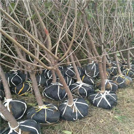 荆州早红宝石樱桃树苗果树