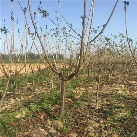 长春黑珍珠樱桃树苗种植