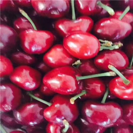 汉中黑珍珠樱桃树苗品种大全