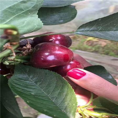 驻马店白玉樱桃树苗品种大全