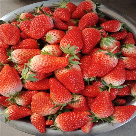 湖南甜查理草莓苗求购