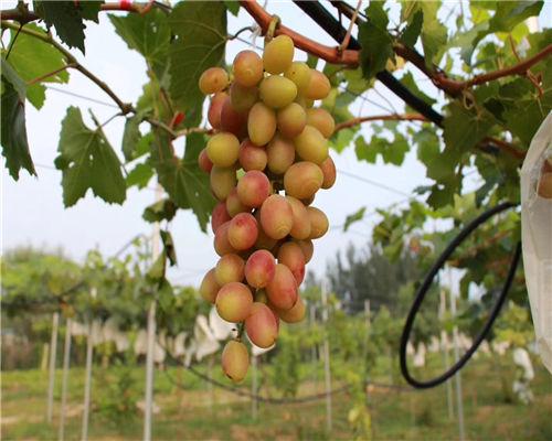 怀化红芭葡萄苗果树