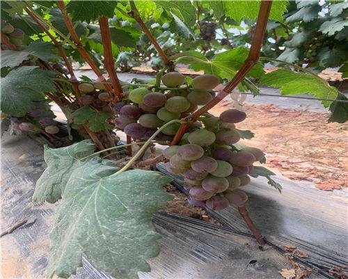 吕梁红芭葡萄苗农业