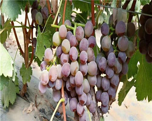 安康龙眼葡萄苗种植基地