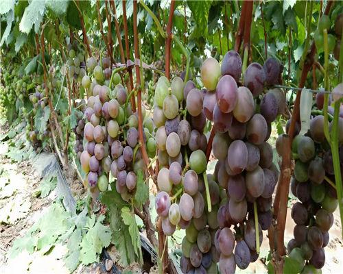 河源红提葡萄苗种植基地