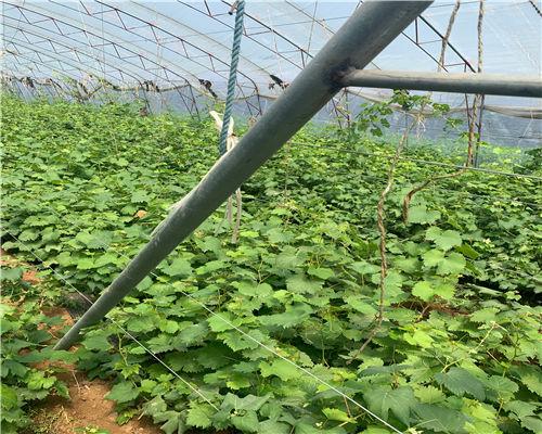 惠州龙眼葡萄苗繁育