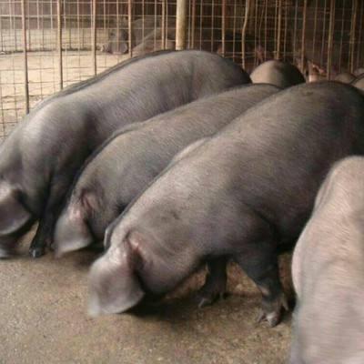 大白母猪批发:石楼长白公猪价格(批发)40-100斤