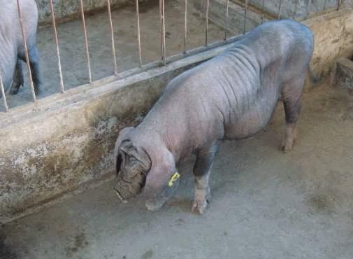 河池纯种二元母猪价格(出售杜洛克种猪)