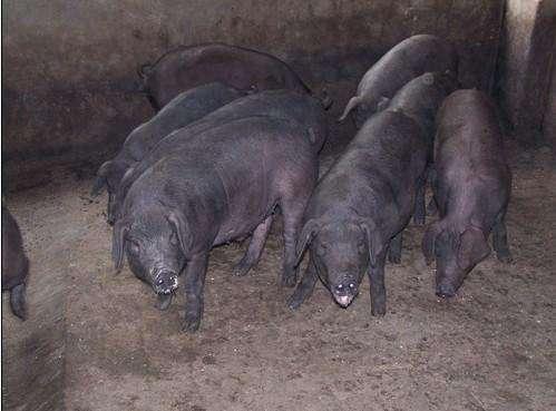 大白母猪批发:交城长太母猪价格(高产母猪)母本介绍