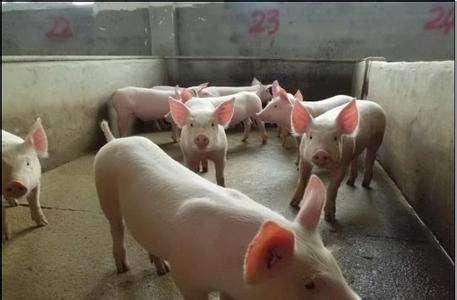 济南高产太湖母猪价格(批发长太母猪)