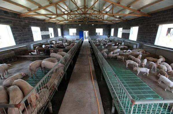 沧州东光大约克公猪价格后备母猪首选