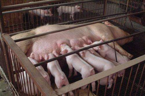 大白母猪批发:沧州长白母猪价格(品种母猪)自繁自养