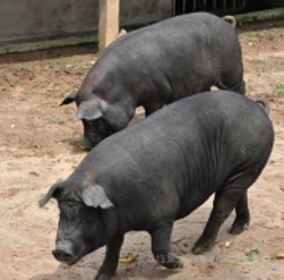 河源原种苏太母猪价格(出售新美系二元母猪)