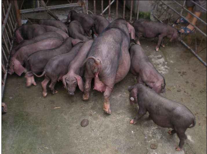 成都原种苏太母猪价格(出售原种太湖母猪)