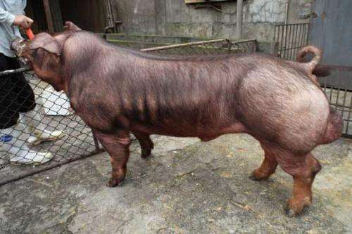 山东原种苏太母猪价格(批发苏太黑母猪)
