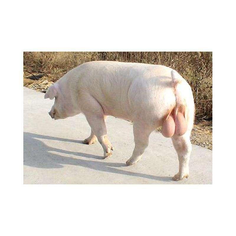 大白母猪批发:同安苏太母猪价格(现在价格)各地报价