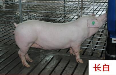 沧州任丘大约克公猪价格后备母猪首选
