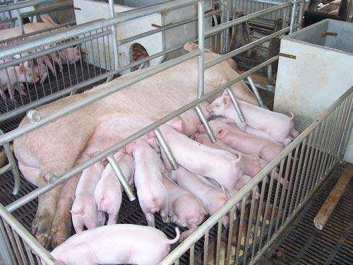 攀枝花原种苏太母猪价格(出售原种太湖母猪)