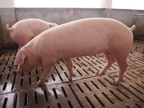 安阳纯种二元母猪价格(出售杜洛克种猪)
