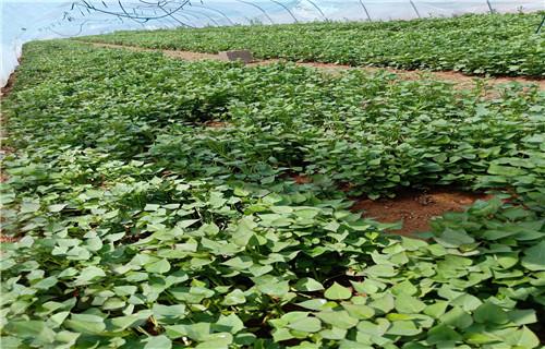 平顶山紫薯苗 育苗培育技术