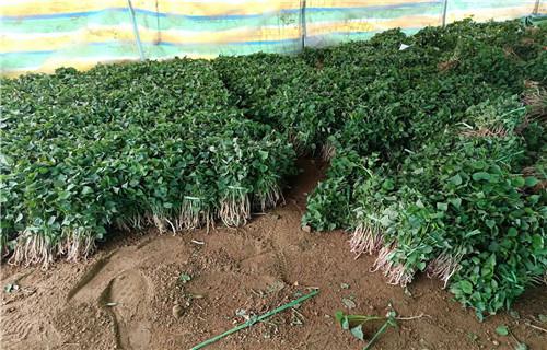 河源紫薯苗多少钱