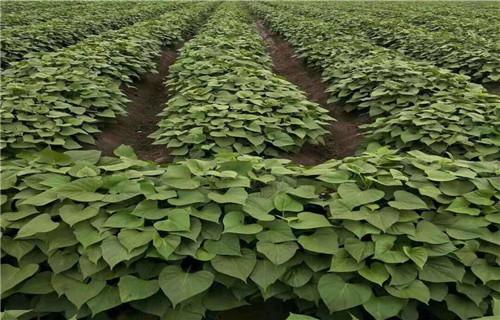 河源 紫薯苗(济黑1号) 育苗方法