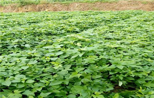 德州 紫甘薯苗市场报价