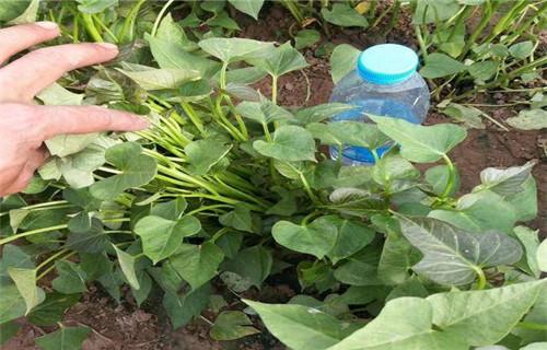天水紫甘薯苗种植基地