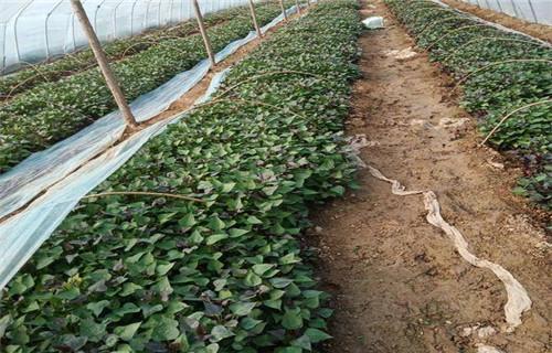 天水紫薯种子 多少钱
