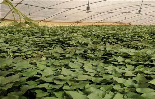 河源 紫甘薯苗多少钱