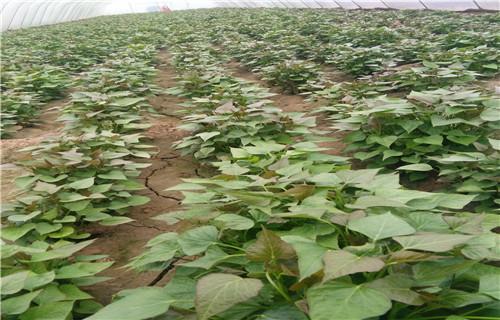 天水 紫红薯苗 是什么