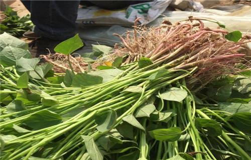 黑河紫薯种生产厂家