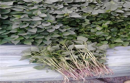 平顶山 紫甘薯苗生产厂家