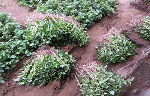 鹤壁紫薯种 厂家批发