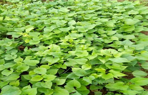 平顶山 紫薯苗(东风8号)质量