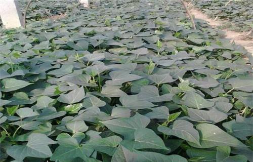 内江紫薯苗供应商
