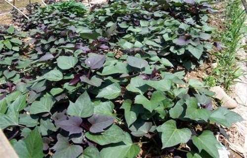 河源紫红薯苗什么时候种