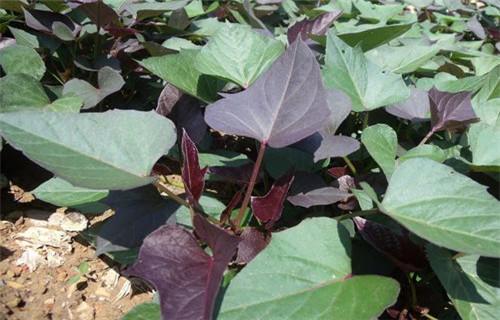 河源紫红薯苗怎么培育