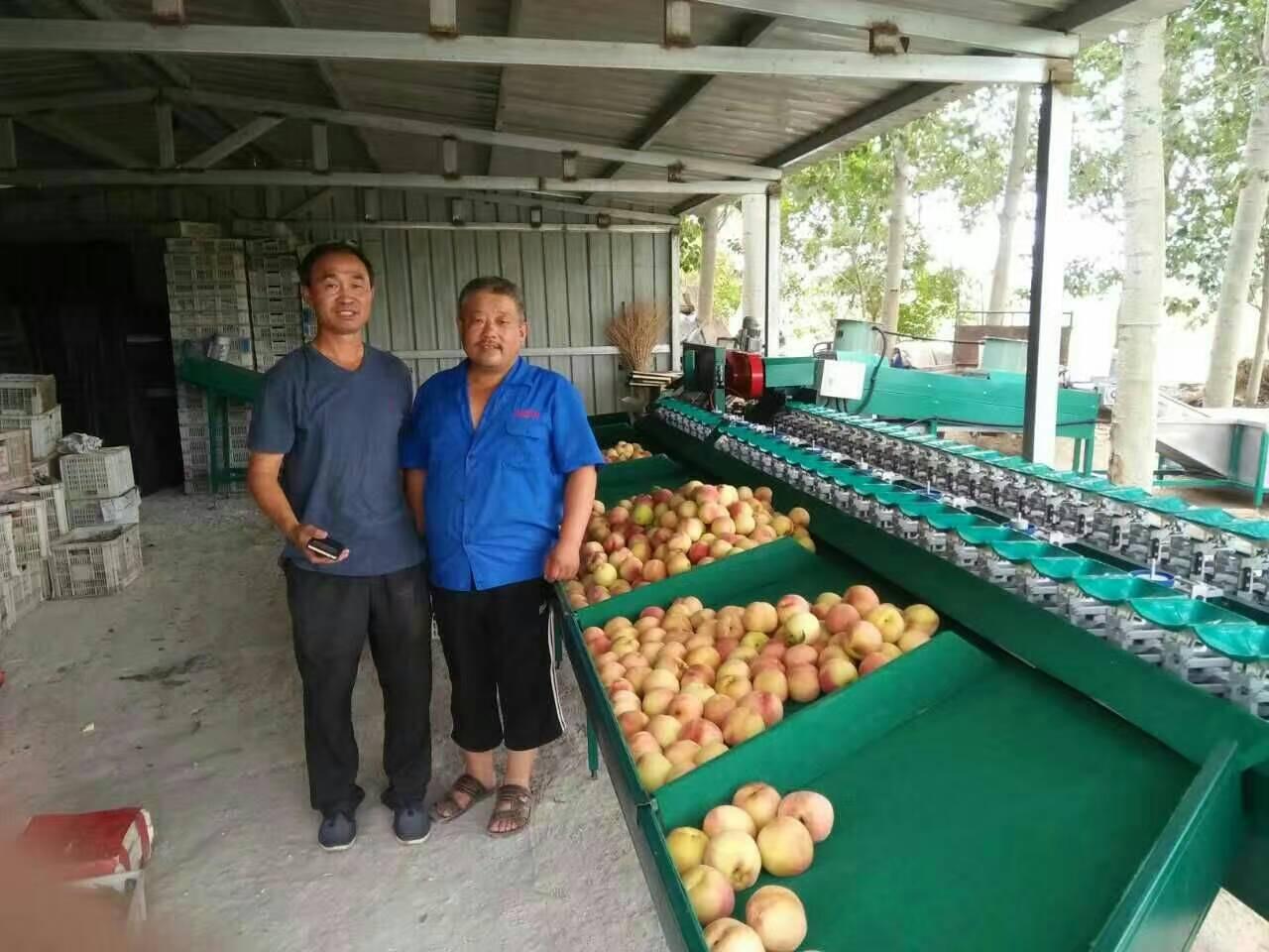 江苏盐城桃子重量选果机 不伤果的水蜜桃分选机